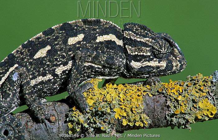 European chameleon (Chamaeleo chamaeleo) Spain  -  Jose B. Ruiz/ npl
