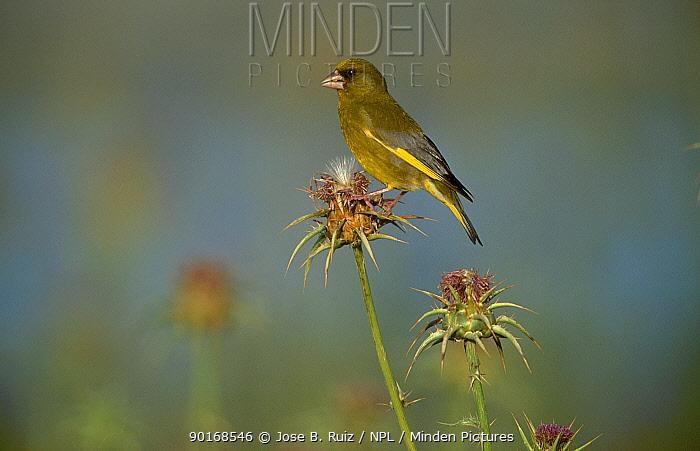 Greenfinch on thistle head (Carduelis chloris) Spain  -  Jose B. Ruiz/ npl
