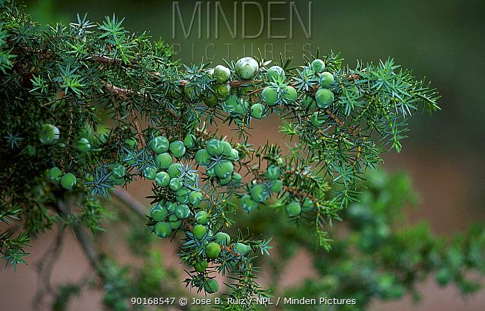 Prickly juniper with berries (Juniperus oxycedrus) Spain  -  Jose B. Ruiz/ npl
