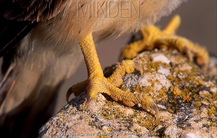 Lesser kestrel close-up of claws (Falco naumanni) Spain  -  Jose B. Ruiz/ npl