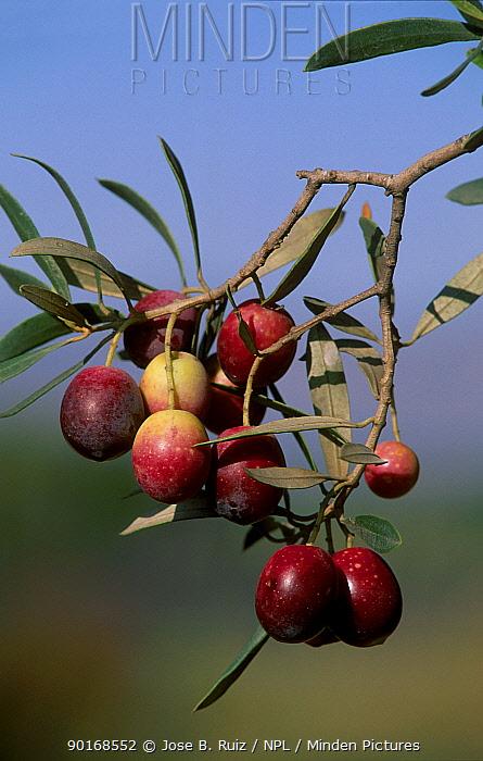 Red Olives on tree (Olea europaea) Spain  -  Jose B. Ruiz/ npl