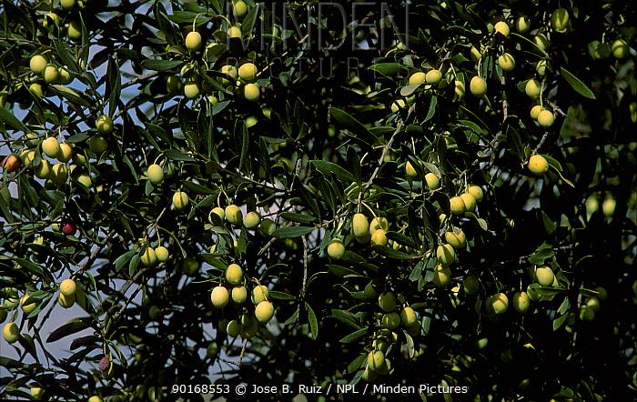Green Olives on tree (Olea europaea) Spain  -  Jose B. Ruiz/ npl