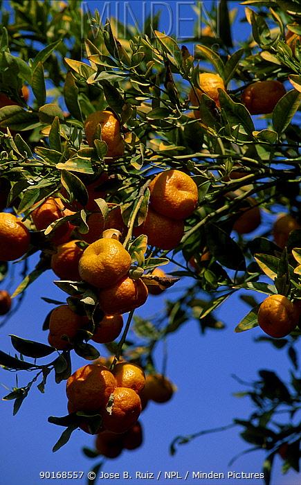 Mandarines on tree (Citrus deliciosa) Spain  -  Jose B. Ruiz/ npl