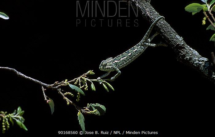 European chameleon (Chamaeleo chamaeleo) moving through vegetation Spain sequence 2, 3  -  Jose B. Ruiz/ npl