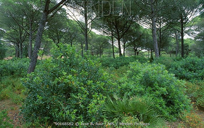 Pine tree forest Brena y pinar NP Barbate, Andalucia, Spain habitat for European chameleon  -  Jose B. Ruiz/ npl