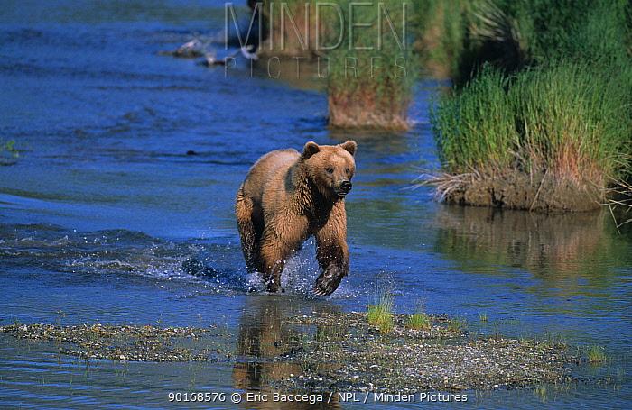 Female Grizzly bear fishing, Brooks river, Katmai NP, Alaska (Ursus arctos horribilis)  -  Eric Baccega/ npl