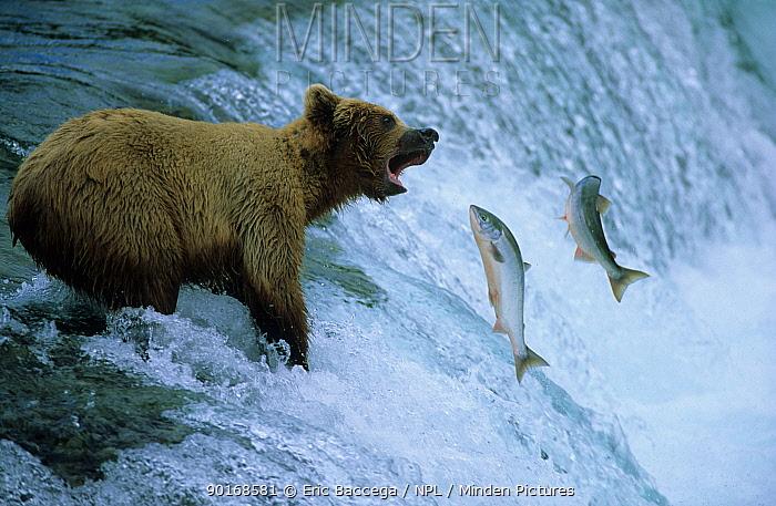 Grizzly bear catching salmon, Brooks river, Katmai NP, Alaska (Ursus arctos horribilis)  -  Eric Baccega/ npl