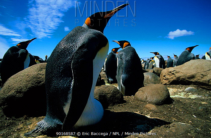King penguin incubating egg in colony, Kerguelen Is, Sub-antarctica (Aptenodytes patagoni)  -  Eric Baccega/ npl