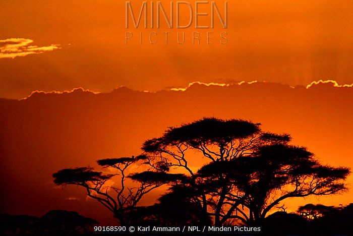 Acacia trees silhouette at sunset, Kenya  -  Karl Ammann/ npl