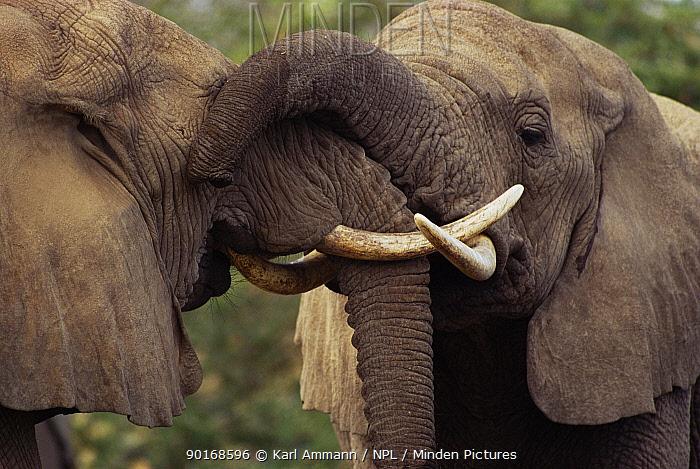 African elephants interact with trunks (Loxodonta africana) Kenya  -  Karl Ammann/ npl