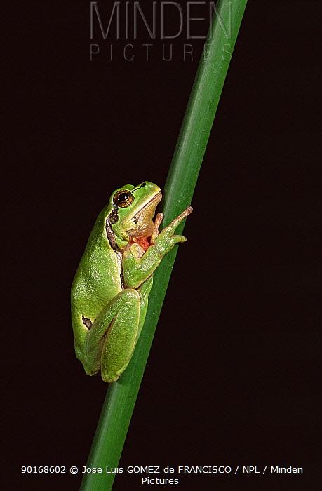 Common tree frog (Hyla arborea) Spain  -  Jose Luis Gomez De Francisco/ np