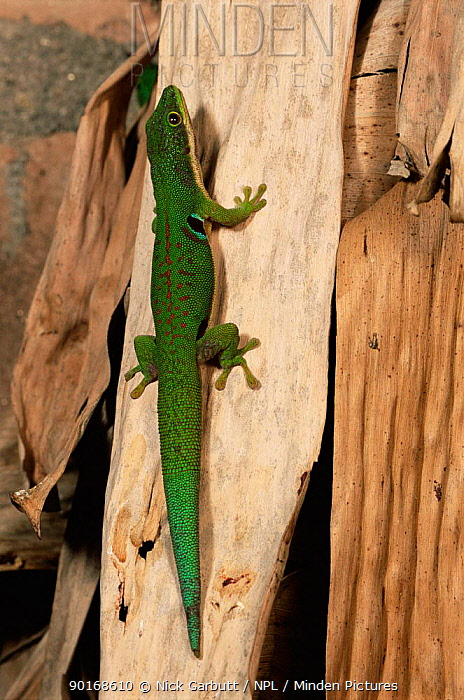 Four spotted, peacock day gecko, Madagascar (Phelsuma quadriocellata) Ranomafana NP  -  Nick Garbutt/ npl