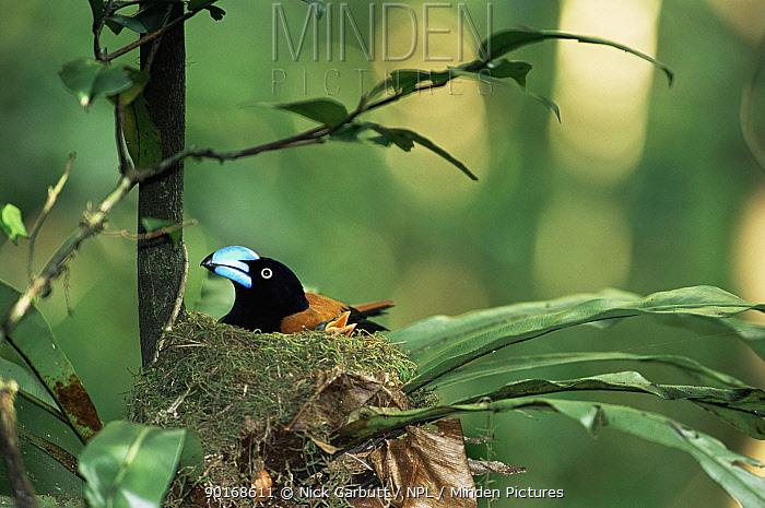 Helmet vanga on nest with chicks (Euryceros prevostii) Masoala, NE Madagascar  -  Nick Garbutt/ npl