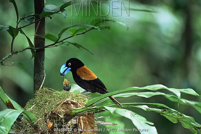 Helmet vanga feeds chick at nest (Euryceros prevostii) Masoala, NE Madagascar  -  Nick Garbutt/ npl