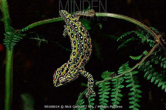 Chameleon (Furcifer campani) Male threat display, Ankaratra highlands Madagascar  -  Nick Garbutt/ npl