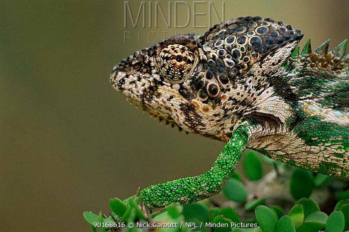 Male Warty, Spiny-backed chameleon (Chamaeleo verrucosus) Madagascar, Spiny forest, Berent  -  Nick Garbutt/ npl