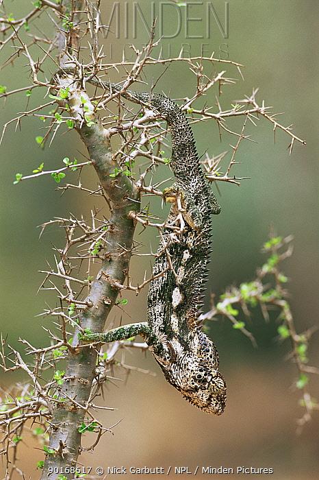 Male Warty, Spiny-backed chameleon, Madagascar, Spiny forest, Berenty  -  Nick Garbutt/ npl