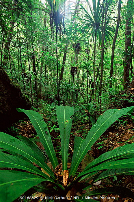 Lowland rainforest with Draceana plant, Masoala National Park, Madagascar  -  Nick Garbutt/ npl