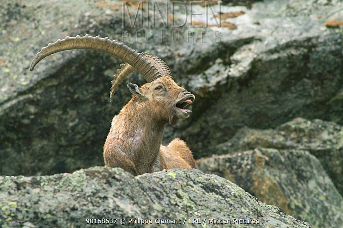 Male ibex (Capra ibex ibex) calling while resting on rock, Gran Paradiso NP, Alps, Italy  -  Philippe Clement/ npl