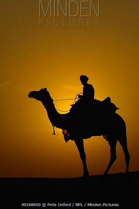 Silhouette of man riding Dromedary camel (Camelus dromedaries) at sunset, Thar desert Rajasthan, India, 2006  -  Pete Oxford/ npl