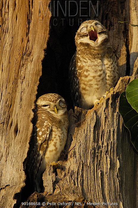 Spotted Owlets (Athene brama) yawning, Bharatpur National Park, Keoladeo Ghana Sanctuary Rajasthan, India  -  Pete Oxford/ npl