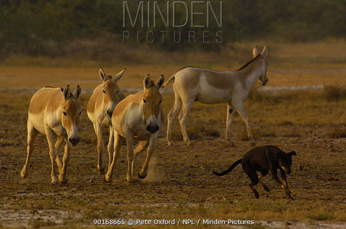 Asiatic Wild Ass, Kuhr (Equus hemionus khur) chasing off domestic dog, Rann of Kutch, Gujarat, SW India Endangered  -  Pete Oxford/ npl