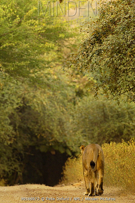 Asiatic lion (Panthera leo persica) Lioness walking away along path, Gir Forest NP, Gujarat, India, Critically Endangered  -  Pete Oxford/ npl