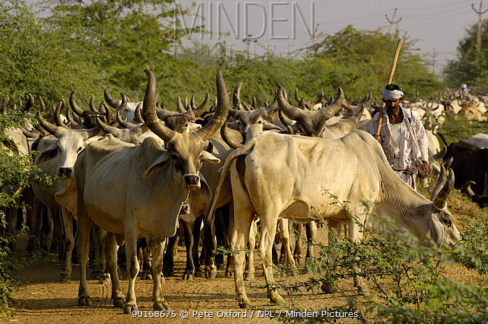 Kanarej cattle with herder belonging to the Jhalavadi Rabari subgroup found around the Little Rann of Kutch, Gujarat, India 2006  -  Pete Oxford/ npl