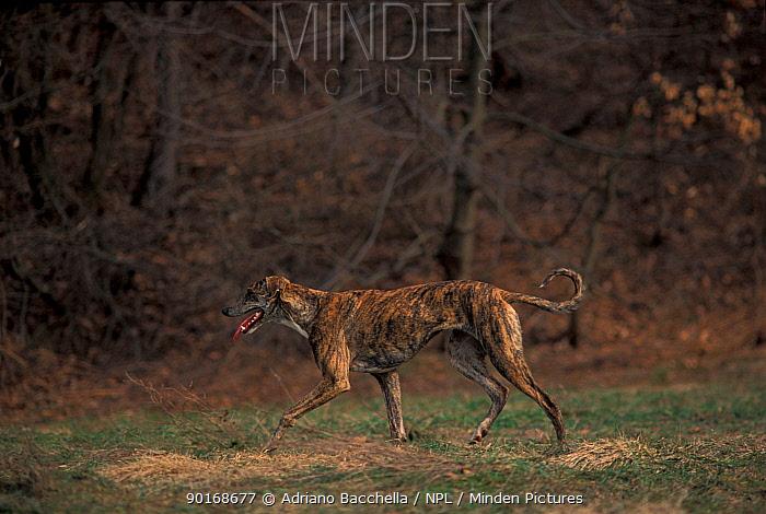 Domestic dog, brindled Magyar Ag�r, Hungarian Greyhound walking  -  Adriano Bacchella/ npl