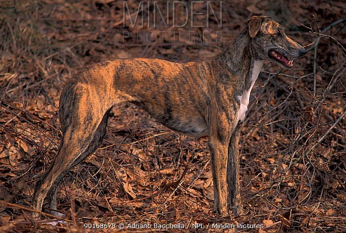 Domestic dog, brindled Magyar Ag�r, Hungarian Greyhound  -  Adriano Bacchella/ npl