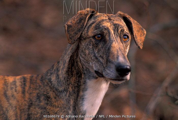 Domestic dog, brindled Magyar Ag�r, Hungarian Greyhound face  -  Adriano Bacchella/ npl