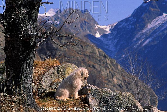 Domestic dog, Yugoslavian Shepherd Dog looking down mountainside  -  Adriano Bacchella/ npl