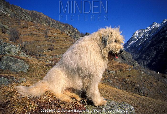 Domestic dog, Yugoslavian Shepherd Dog sitting on mountainside  -  Adriano Bacchella/ npl