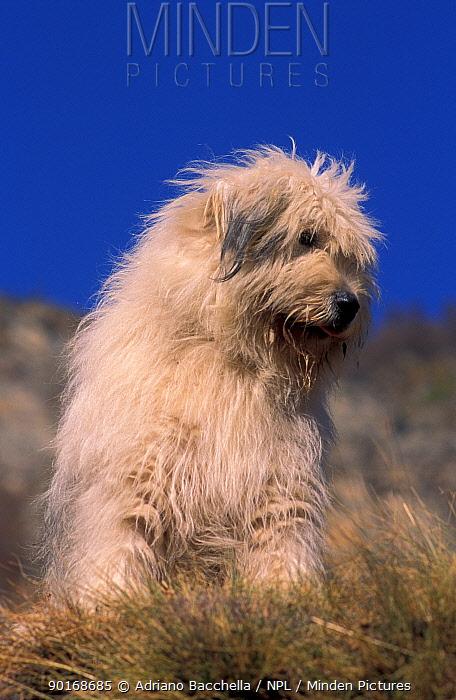 Domestic dog, Yugoslavian Shepherd Dog sitting down  -  Adriano Bacchella/ npl