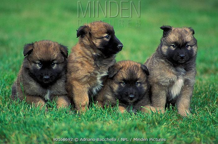 Domestic dogs, Belgian Malinois, Shepherd Dog puppies sitting, lying together  -  Adriano Bacchella/ npl