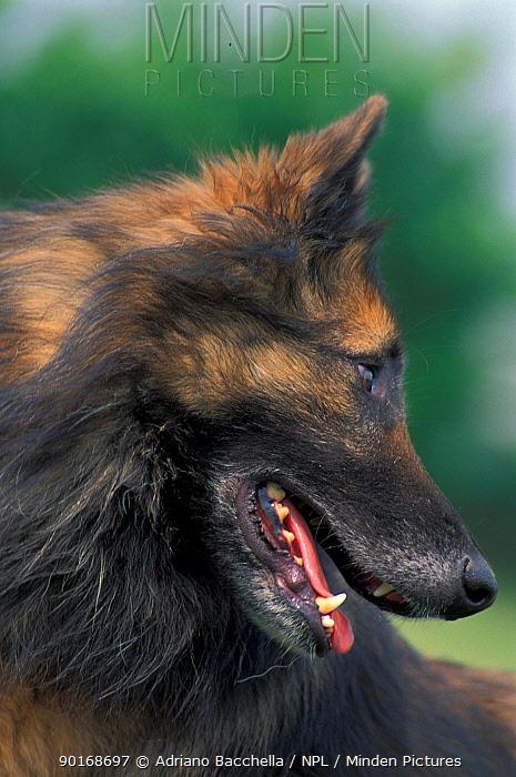 Domestic dog, Belgian Shepherd Dog, Tervueren looking away  -  Adriano Bacchella/ npl