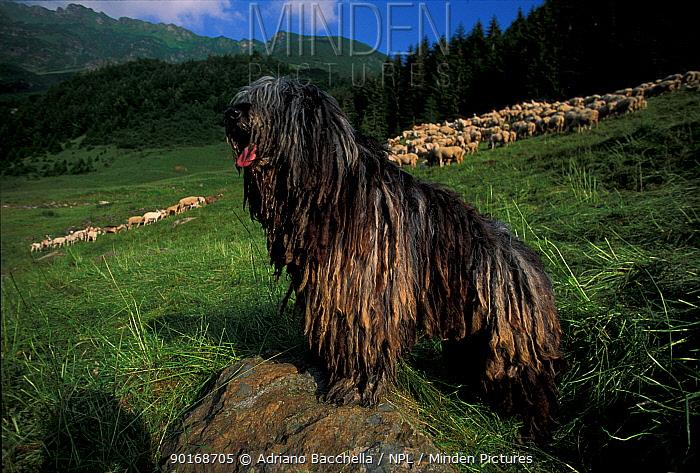 Domestic dog, Bergamasco looking after flock of sheep on hillside  -  Adriano Bacchella/ npl