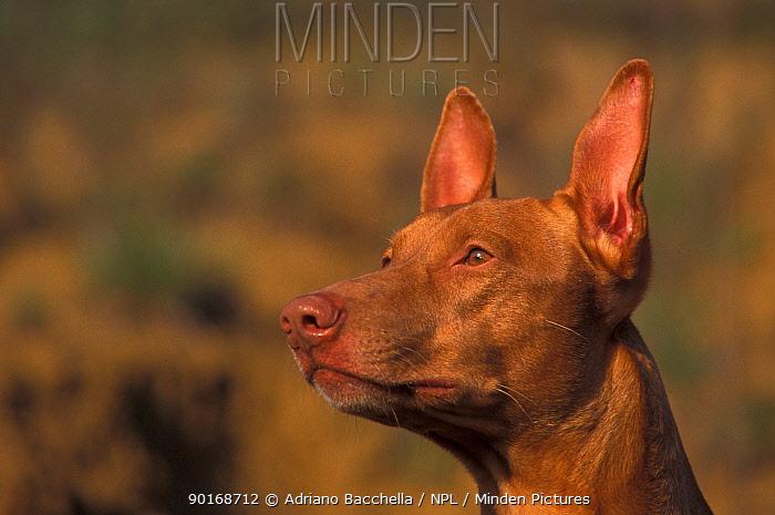 Domestic dog, Pharoah Hound looking up  -  Adriano Bacchella/ npl