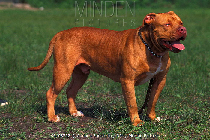 Domestic dog, Pit Bull terrier portrait The Pit Bull Terrier is a breed banned in many countries  -  Adriano Bacchella/ npl