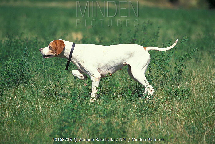 Domesitc dog, Pointer pointing, looking in the direction of game  -  Adriano Bacchella/ npl