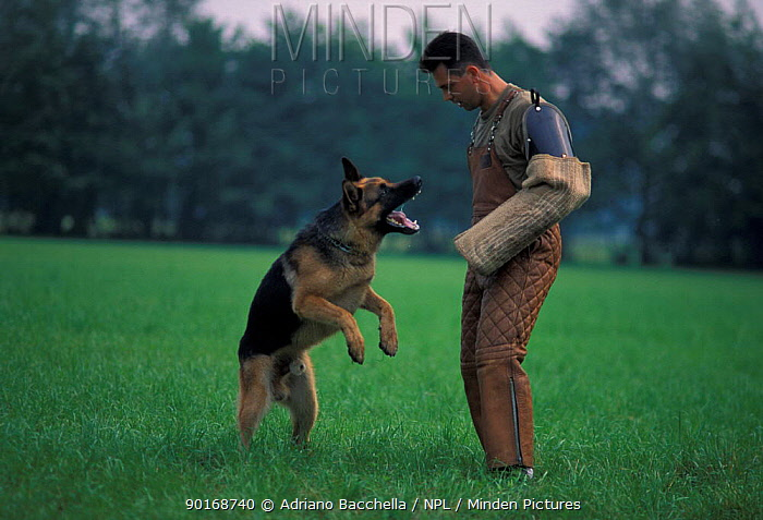 Domestic dog, Alsatian, German Shepherd lunging for man's arm during training  -  Adriano Bacchella/ npl
