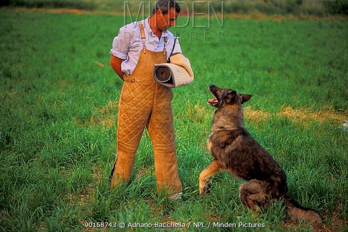 Domestic dog, Alsatian, German Shepherd lunging at man's arm during training  -  Adriano Bacchella/ npl