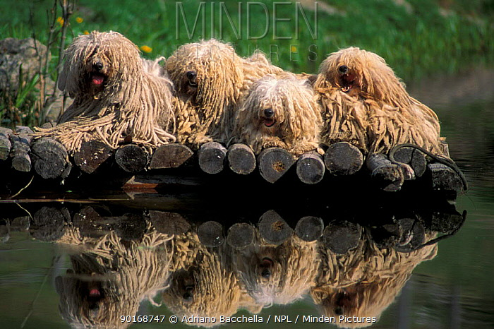 Domestic dogs, four Pulik, Hungarian Water Dogs lying together on at a pond  -  Adriano Bacchella/ npl
