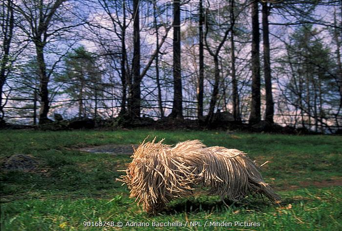 Domestic dog, Puli, Hungarian Water Dog running  -  Adriano Bacchella/ npl