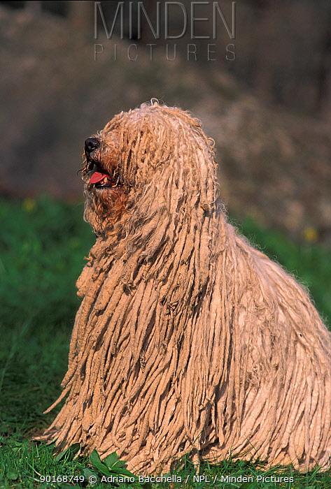 Domestic dog, Puli, Hungarian Water Dog portrait  -  Adriano Bacchella/ npl