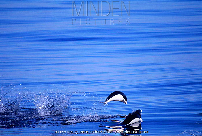 Southern Right whale dolphins porpoising (Lissodelphis peronii) Peru, Pacific  -  Pete Oxford/ npl