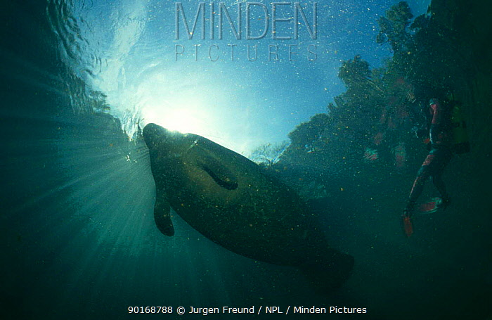 West Indian manatee (Trichecus manatus) with diver underwater, Homosassa springs, Florida, USA  -  Jurgen Freund/ npl