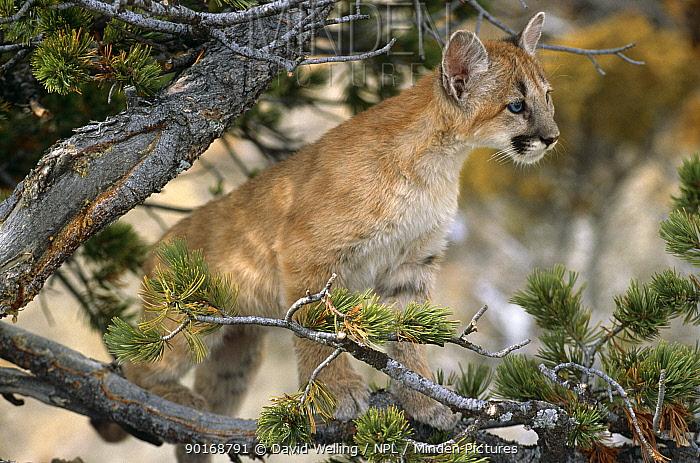 Puma cub (Felis concolor) captive, Montana, USA  -  David Welling/ npl
