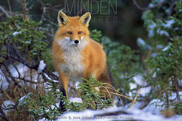 North American red fox in snow (Vulpes vulpes) Anticosti Is Canada  -  Jose Schell/ npl