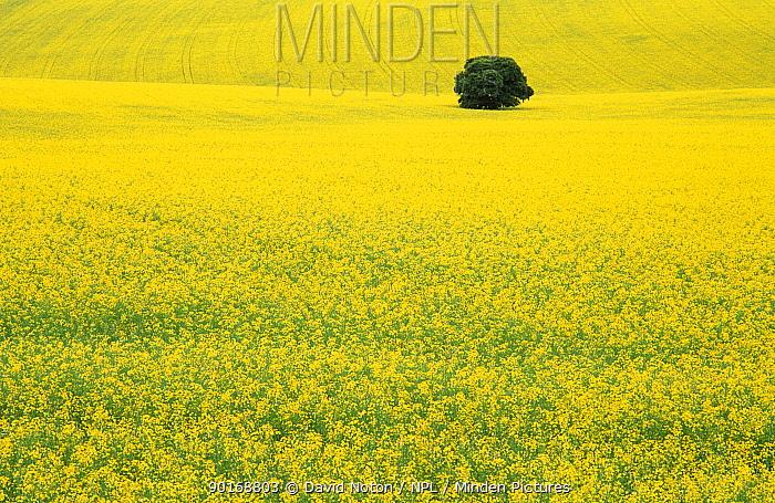 Solitary tree in Oil Seed Rape field Salisbury Plain, Wilts England  -  David Noton/ npl